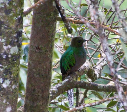 quetzal-female