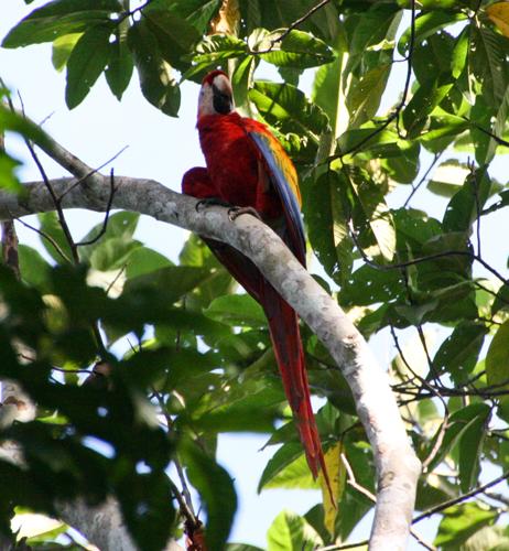 scarlet-macaw-2
