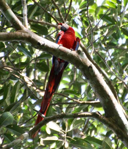 scarlet-macaw-3