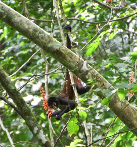 spider-monkey-1