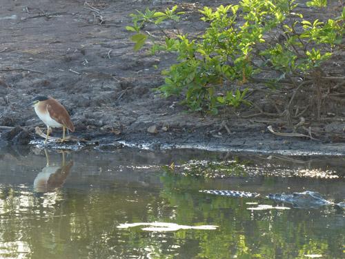 10-nankeen-night-heron-crocodile-blog