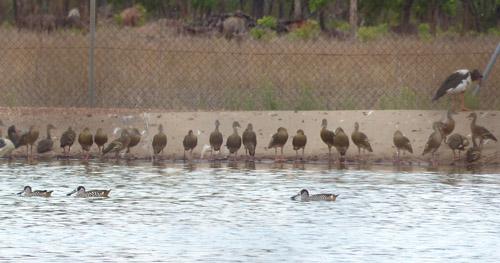 25-pink-eared-ducks-friends-blog