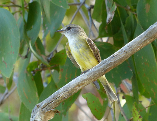 5-lemon-bellied-flyrobin-blog