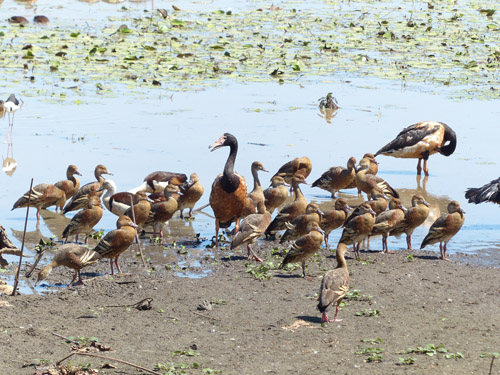 8-whistling-ducks-magpie-geese-blog