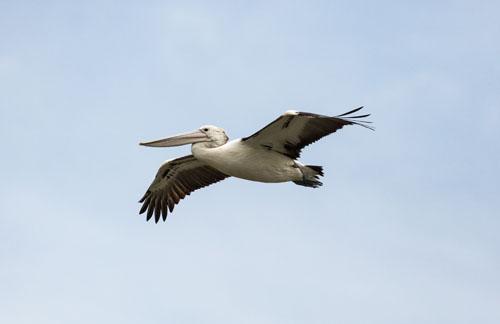 australian-pelican-blog