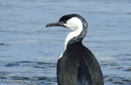 black-faced-cormorant-blog