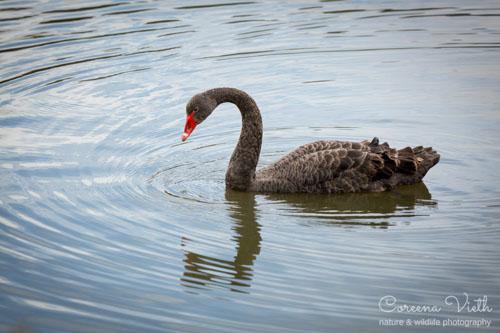 black-swan-blog