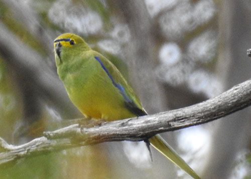 blue-winged-parrot-blog