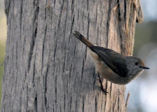 brown-thornbill-blog