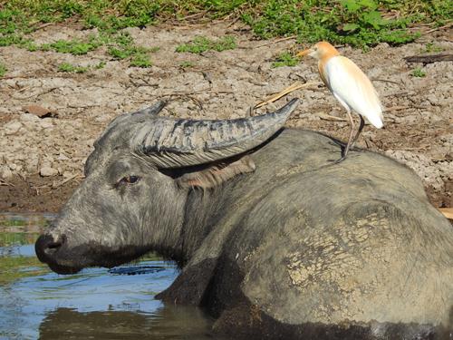 buffalo-with-cattle-egret-blog