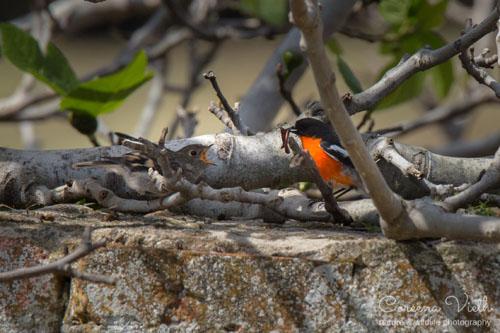 flame-robin-chick-blog