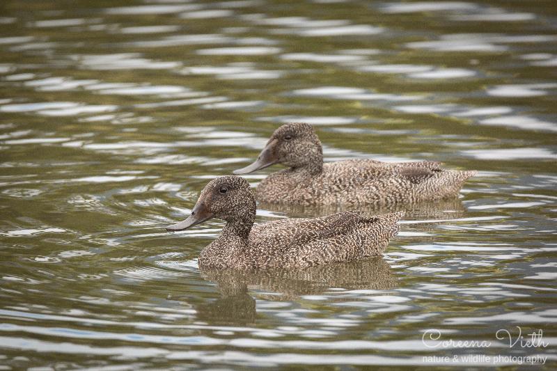 freckled-ducks