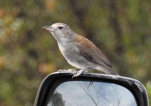 grey-shrike-thrush-blog