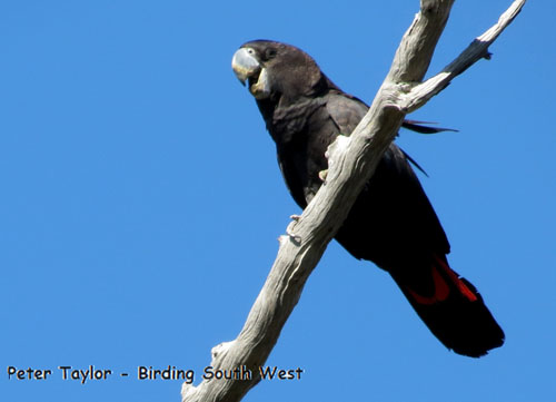 red-tailed-black-cockatoo-forest-blog