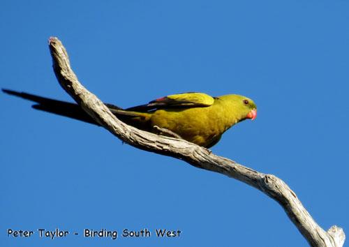 regent-parrot-blog