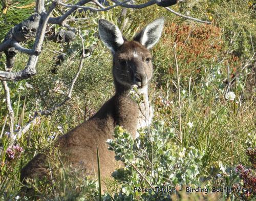 western-grey-kangaroo-blog