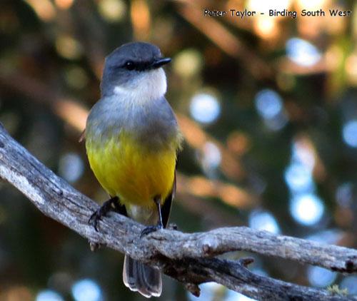 western-yellow-robin-blog