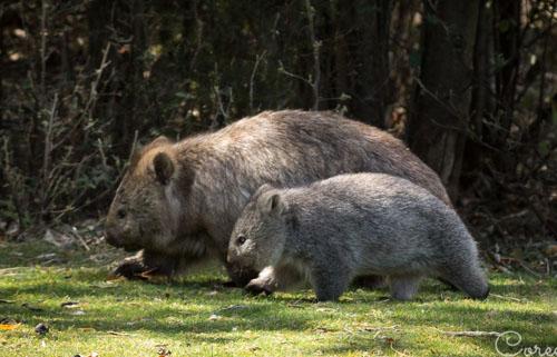 wombat-baby-blog