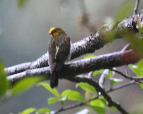 yellow-rumped-honeyguide