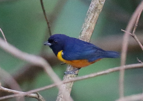 b-euphonia-chestnut-bellied-7