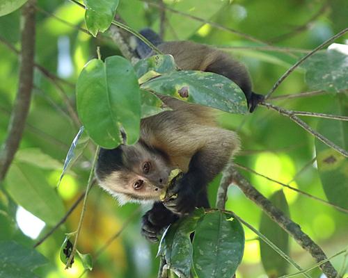 b-monkey-capuchin-sepajus-apella-10