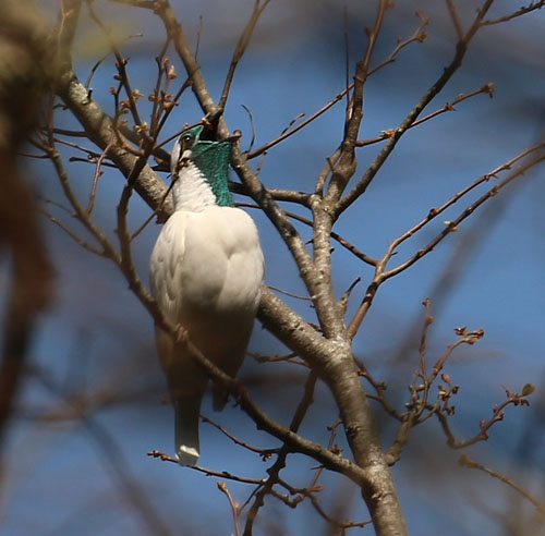 bare-throated-bellbird-a