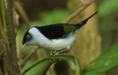 pin-tailed-manakin-a