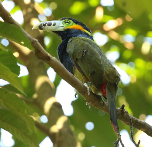 spot-billed-toucanet-a