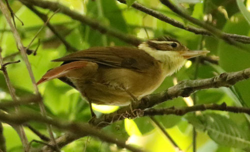 white-collared-foliage-gleaner-a