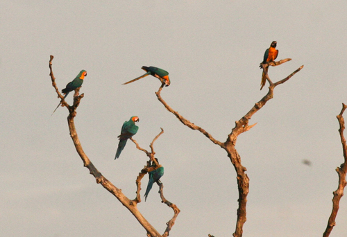 blue-yellow-macaw-2
