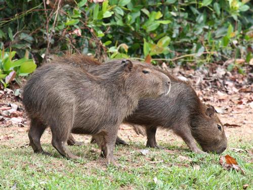 capybarras
