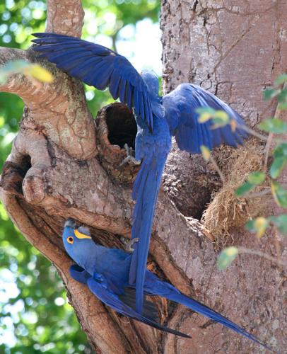 hyacinth-macaw-1