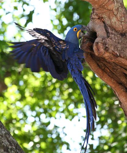 hyacinth-macaw-2