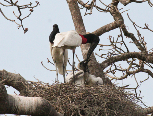 jabiru-stork-1