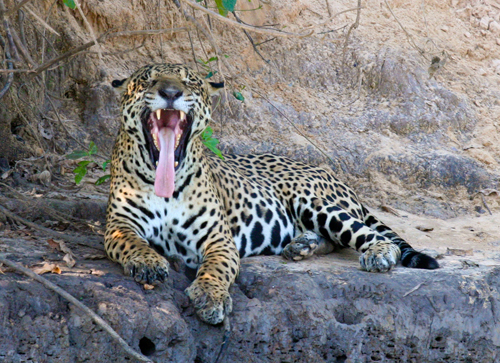 jaguar-large-male