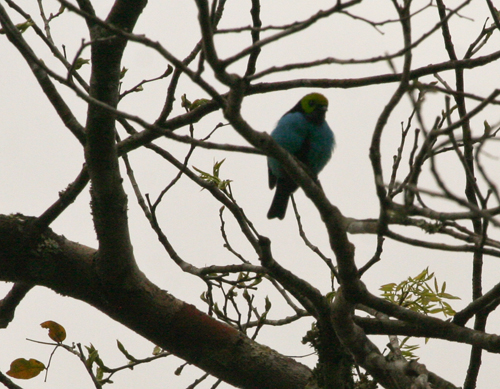 paradise-tanager-1