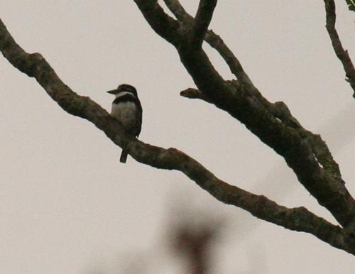 pied-puffbird