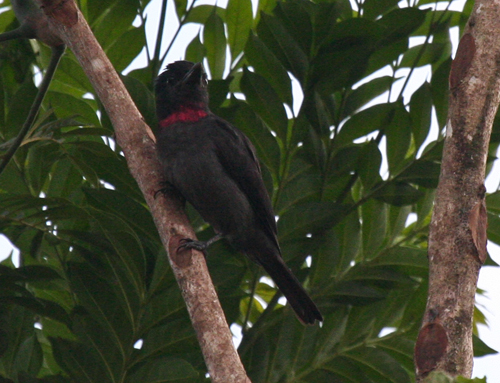 pink-throated-becard