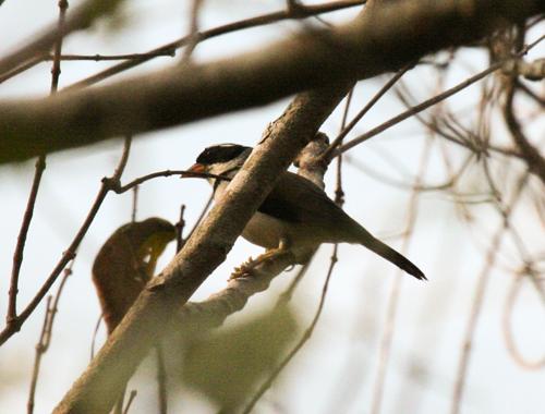 saffron-billed-sparrow