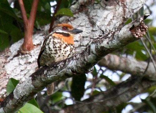 spotted-puffbird