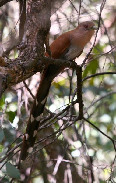 squirrel-cuckoo