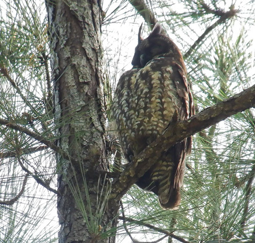 Stygian-Owl-1702