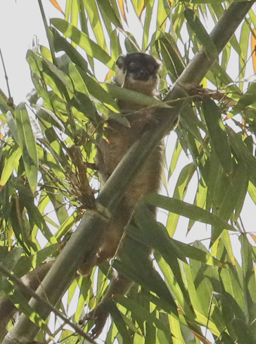 Bamboo-Lemur