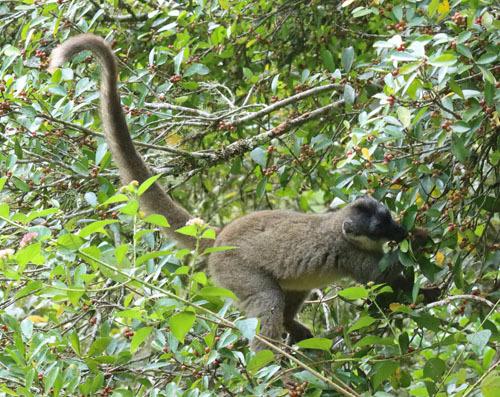 Brown-Lemur