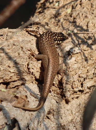 Gold-spotted-Skink