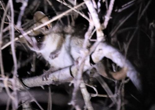 Grey-brown-Mouse-Lemur