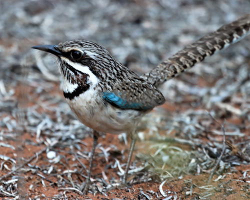Long-tailed-Ground-Roller
