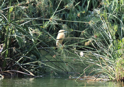 Madagascar-Pond-Heron