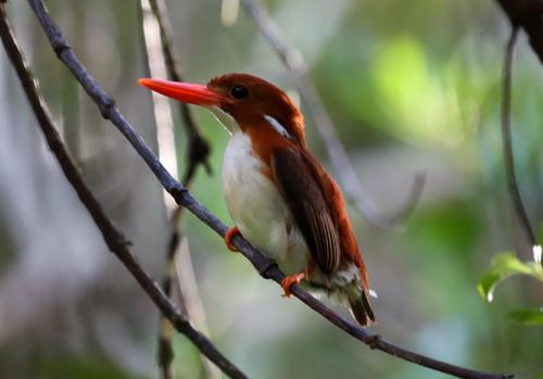 Madagascar-Pygmy-Kingfisher