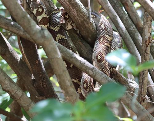 Madagascar-Tree-Boa
